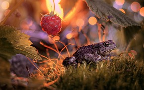 Picture leaves, macro, nature, raspberry, moss, berry, toad, bokeh