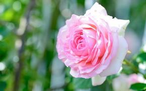 Picture flower, light, background, pink, rose, Bud, bokeh, lush