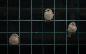 Picture grille, sparrows, sparrows, trellis, Nazim Tetik