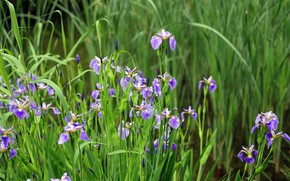 Picture greens, leaves, flowers, spring, flowerbed, irises, lilac, iris