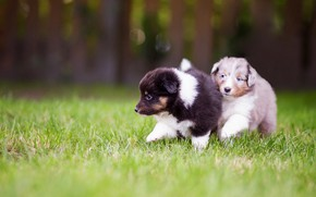 Picture dogs, grass, nature, glade, puppies, pair, small, walk, kids, sports, walk, cute, tot