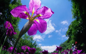 Picture the sky, spring, iris