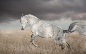 Picture field, white, the sky, grass, look, face, clouds, clouds, nature, grey, background, horse, horse, stallion, …