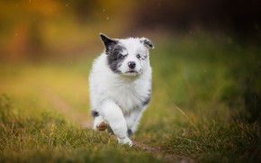 Picture dog, puppy, walk, bokeh, doggie, The border collie