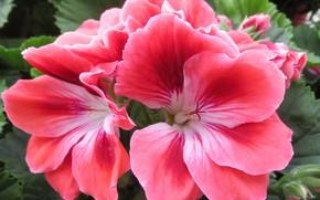 Picture photo, Flowers, Pink, Geranium
