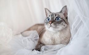 Picture cat, cat, face, portrait, light background, Neva masquerade
