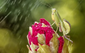 Picture flower, eyes, drops, macro, green, background, rain, pink, mantis, Bud, insect
