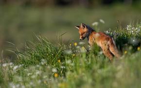 Picture summer, grass, flowers, nature, meadow, Fox, Fox, Fox