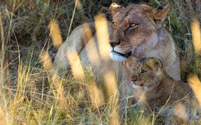 Picture grass, look, face, light, glare, background, stay, portrait, wild cats, lions, lioness, cub, lion, two, ...