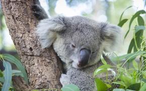 Picture leaves, tree, bear, Koala