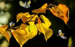 Picture autumn, leaves, birds, nature, branch, bokeh, Linden, Tits
