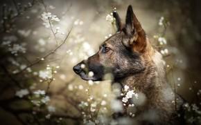 Picture look, face, flowers, branches, nature, portrait, dog, blur, spring, profile, flowering, German shepherd, bokeh