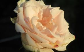 Picture Rose, Flower, Petals, Cream, Meduzanol ©, Summer 2018