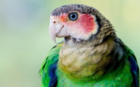 Picture look, green, background, bird, portrait, parrot, bright plumage, Rosella