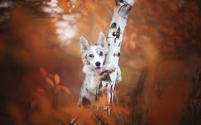 Wallpaper autumn, each, dog