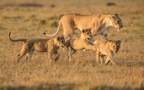 Picture field, grass, pose, the game, pack, family, walk, lions, the cubs, trio, mom, lion, three …
