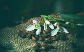 Picture flowers, the dark background, coffee, spring, snowdrops, white, coffee beans, burlap, a bunch, composition
