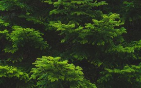 Picture needles, branches, spruce, green