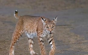 Picture look, nature, lynx