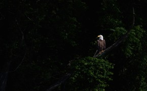 Picture light, branches, the dark background, bird, foliage, bald eagle