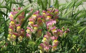 Picture Flowers, Snapdragons, Meduzanol ©, Summer 2018, Yellow pink