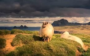 Picture sea, grass, light, clouds, nature, rocks, shore, sheep, sheep