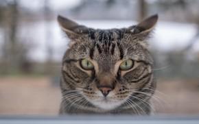 Picture cat, look, muzzle, cat