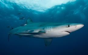 Picture sea, animals, water, light, fish, fish, the ocean, fish, shark, small, underwater world, under water, …