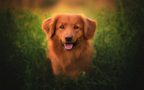 Picture grass, look, face, dog, Nova Scotia duck tolling Retriever