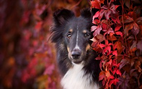 Picture autumn, look, face, leaves, foliage, portrait, dog, puppy, red, black, the bushes, colorful, breed, collie, …