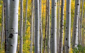 Picture autumn, forest, aspen