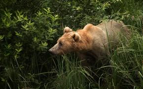 Picture grass, look, face, bear, brown, bear