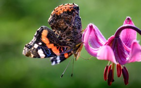 Picture flower, macro, butterfly, Lily