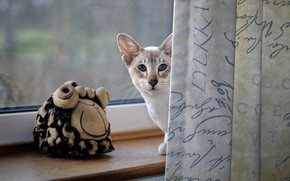 Picture cat, cat, look, window, sill, curtains, blue eyes, figure