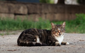 Picture cat, cat, look, nature, pose, muzzle, lies
