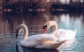 Picture birds, pair, swans, pond