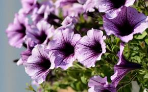 Picture summer, flowers, flowerbed, Petunia