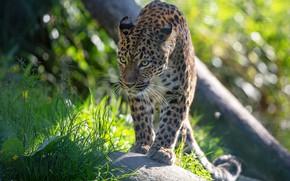Picture grass, look, face, light, pose, leopard, walk, sneaks, bokeh