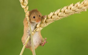 Picture background, mouse, spikelets, ears, rodent, The mouse is tiny