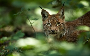 Picture greens, look, face, lynx, wild cat