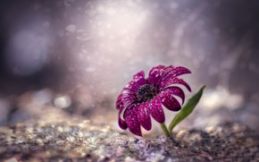 Picture flower, water, drops, macro, bokeh