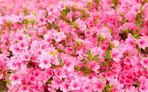 Picture flowers, spring, pink, flowering, pink, blossom, spring, Azalea, bloom