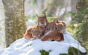 Wallpaper winter, forest, look, snow, branches, nature, pose, comfort, background, trunks, kittens, three, lynx, trio, lynx, ...