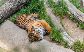 Picture tiger, predator, lies, resting, on the grass