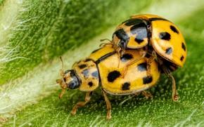 Picture macro, two, leaf, ladybug, yellow, bugs, a couple, green background, ladybugs