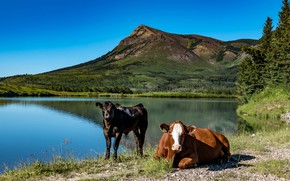 Picture forest, summer, the sky, look, mountains, nature, lake, blue, stay, shore, the slopes, two, cow, …