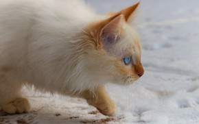 Picture winter, cat, white, look, snow, kitty, background, fluffy, walk, kitty, blue-eyed, color-point, Neva masquerade, red-point