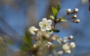 Picture nature, cherry, spring, the cherry blossoms, flowering in the spring