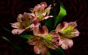 Picture flowers, the dark background, alstremeria