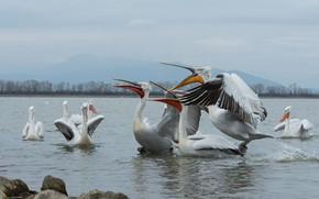 Picture the sky, look, mountains, birds, pose, stones, shore, pack, beak, pond, pelicans, Pelican, flap